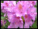 Title: Rhododendron catawbiense